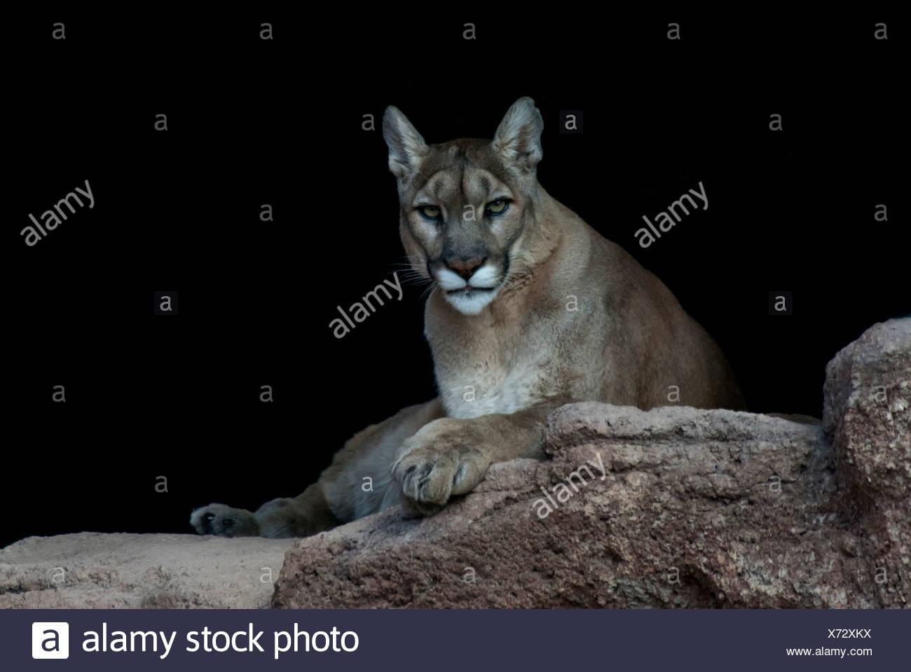 U S Mountain Lion Population Felis Concolor ...