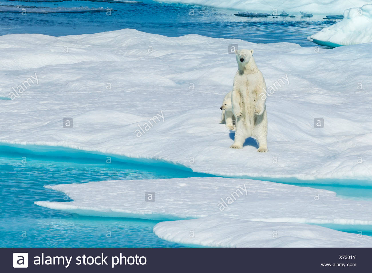 A mother polar bear (Ursus maritimus) stands on its hind legs while its cub looks on. Stock Photo