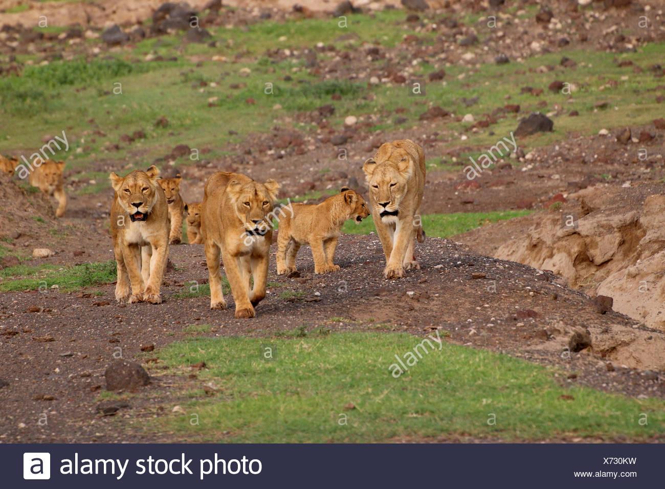 lion (Panthera leo), lion family in Ngorongoro Crater, Tanzania - Stock Image