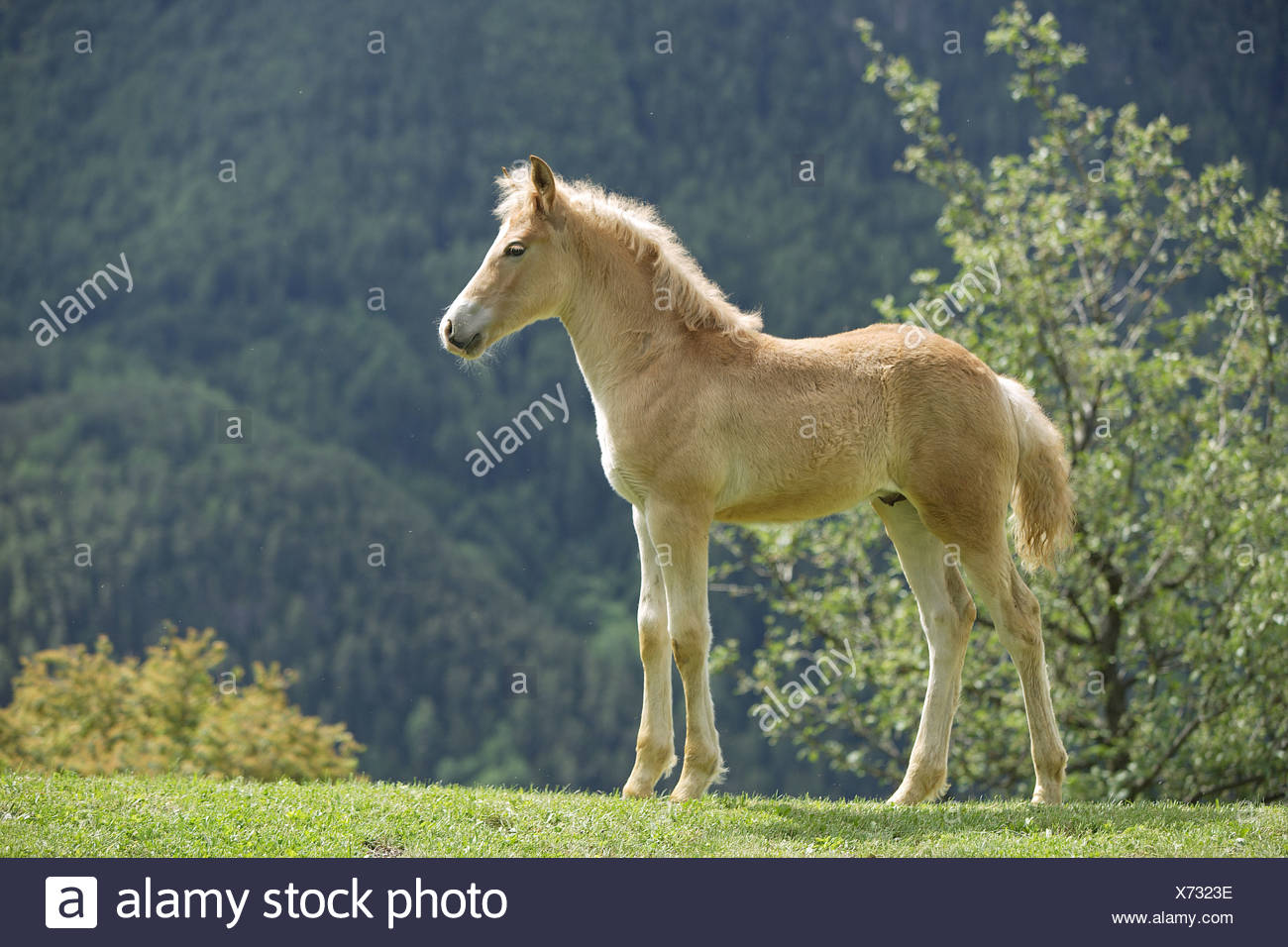 haflinger foal - standing on meadow - Stock Image