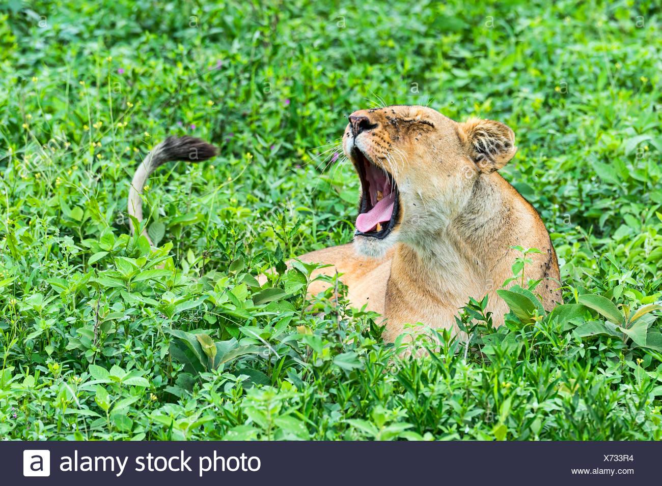 Ffly-ridden Lioness (Panthera leo), Ndutu, Tanzania - Stock Image