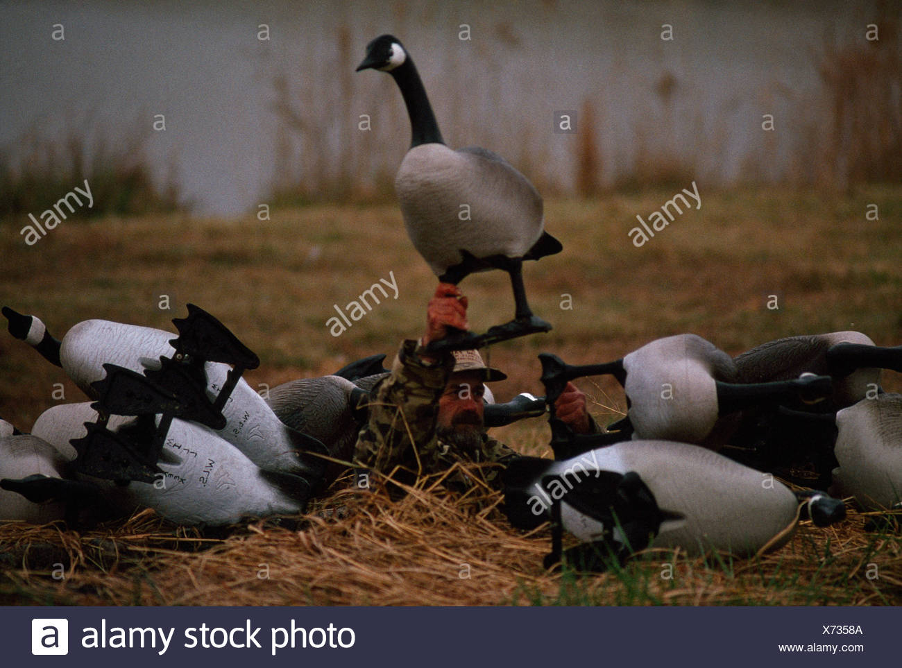 Canada goose decoys used in a pit blind Stock Photo