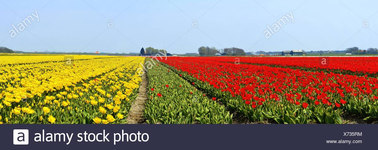 Netherlands, North Holland, Panoramic view of tulip fields - Stock Image