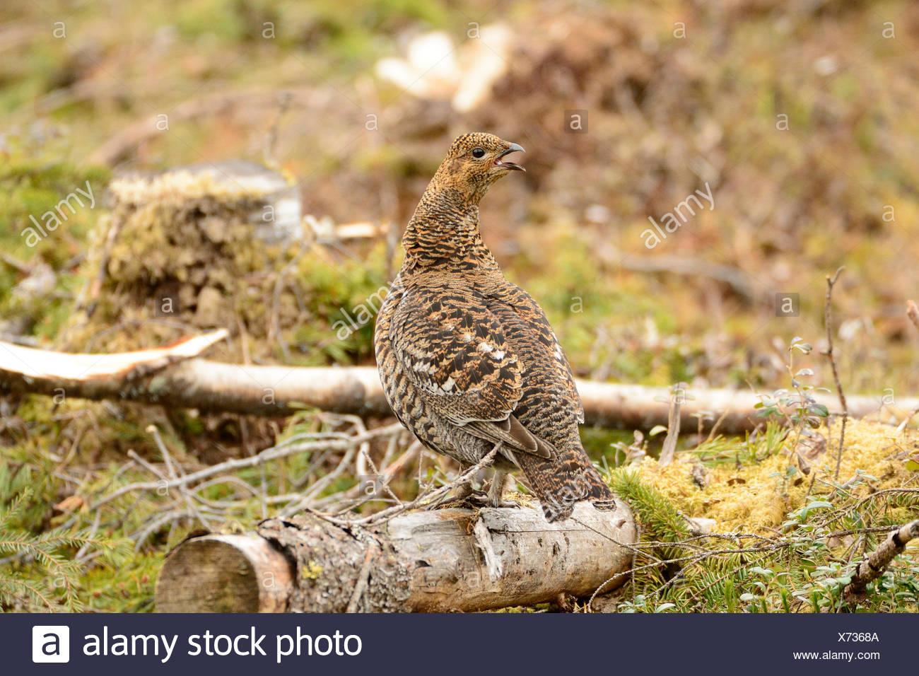 Black Grouse, Grouse, Tetrao tetrix, Tetraonidae, hen, bird, animal, Bograngen, Värmland, Sweden - Stock Image