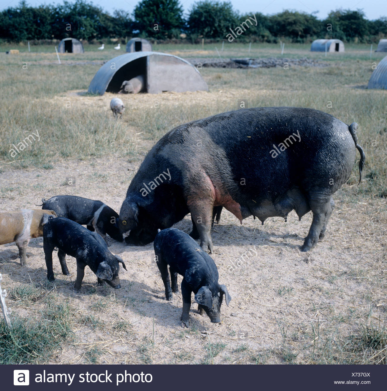 Free range organic saddleback sow with her piglets on a hot summer day - Stock Image