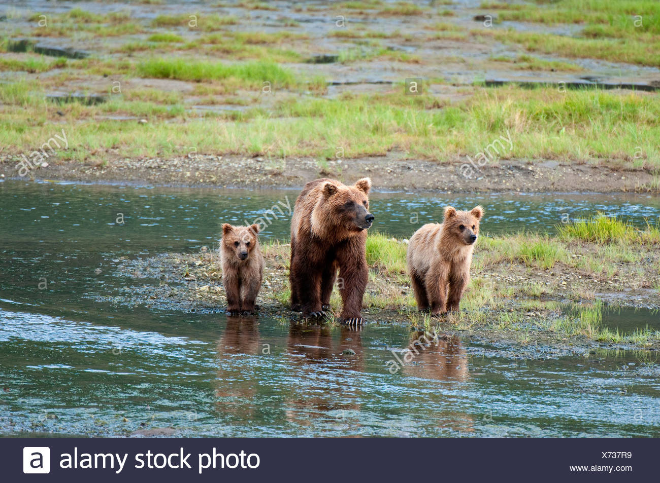 Brown Bear sow walks across a stream with her spring cubs in Chinitna Bay, Lake Clark National Park, Southcentral Alaska, Summer - Stock Image