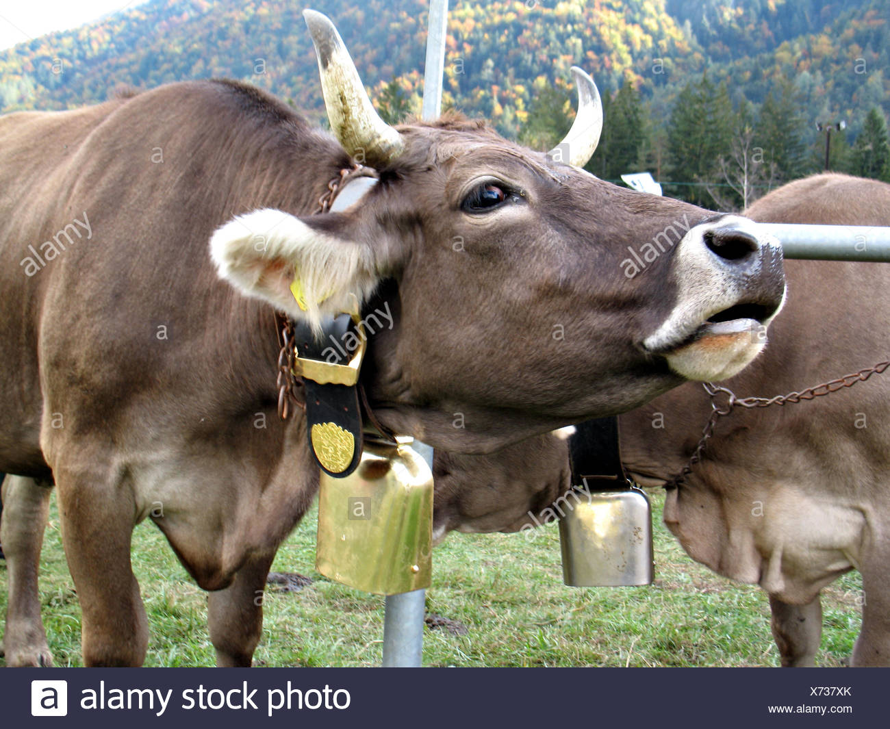 Animal Cow Farm Muzzle Cattle Pasture Roar Moo Animal Mammal Brown