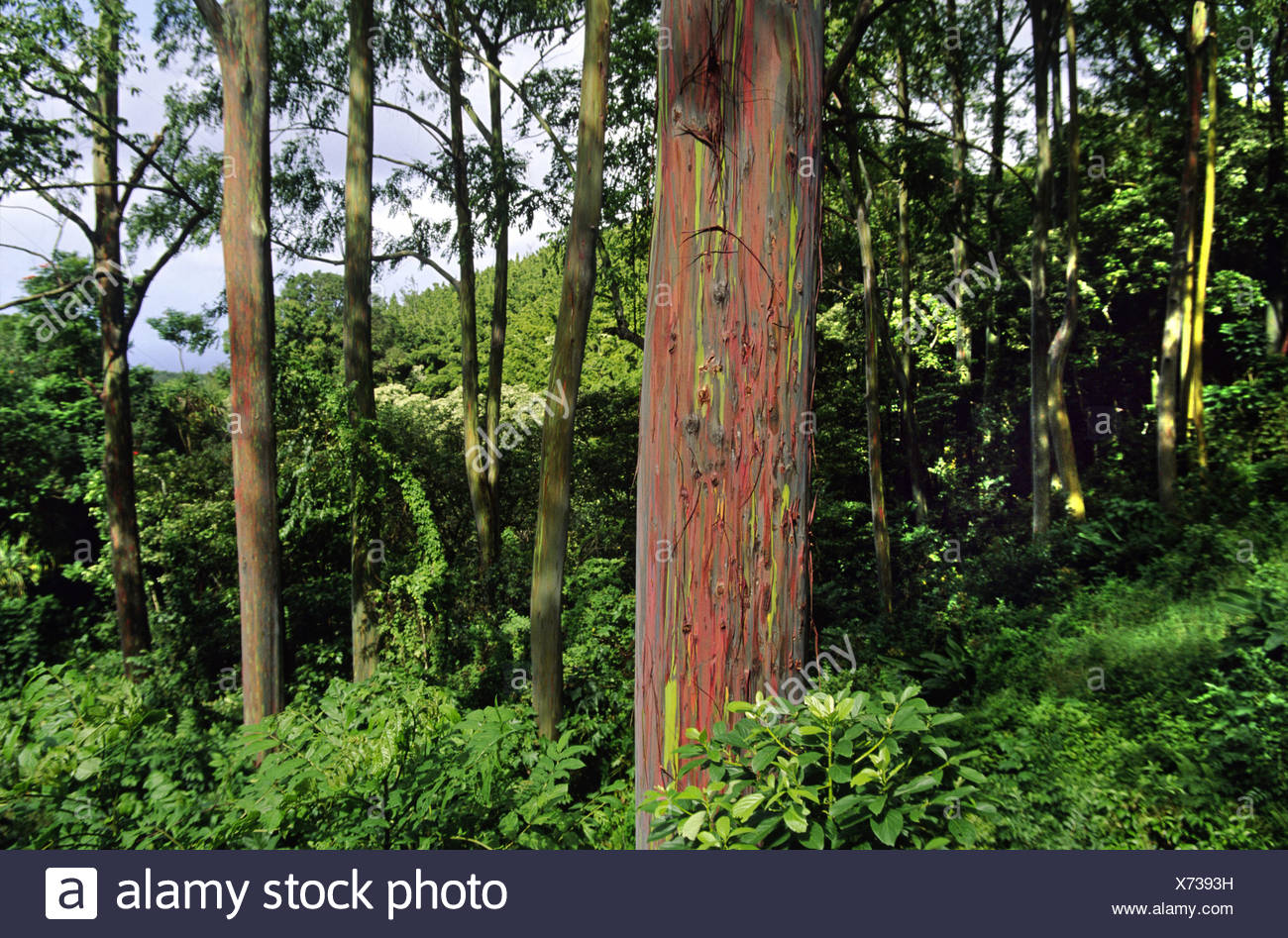 rainbow eucalyptus, Painted eucalyptus (Eucalyptus deglupta), The green and red bark is one of natures incredible visual deligh - Stock Image