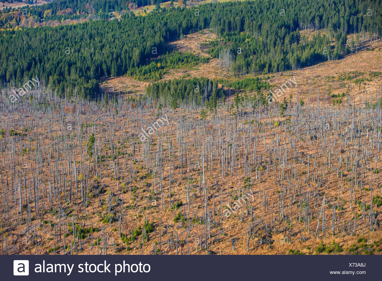 bark beetles, engraver beetles & ambrosia beetles, timber beetles (Scolytidae (Ipidae)), aerial view to spruce forest damaged by bark beetles, Czech Republic, Boehmerwald - Stock Image