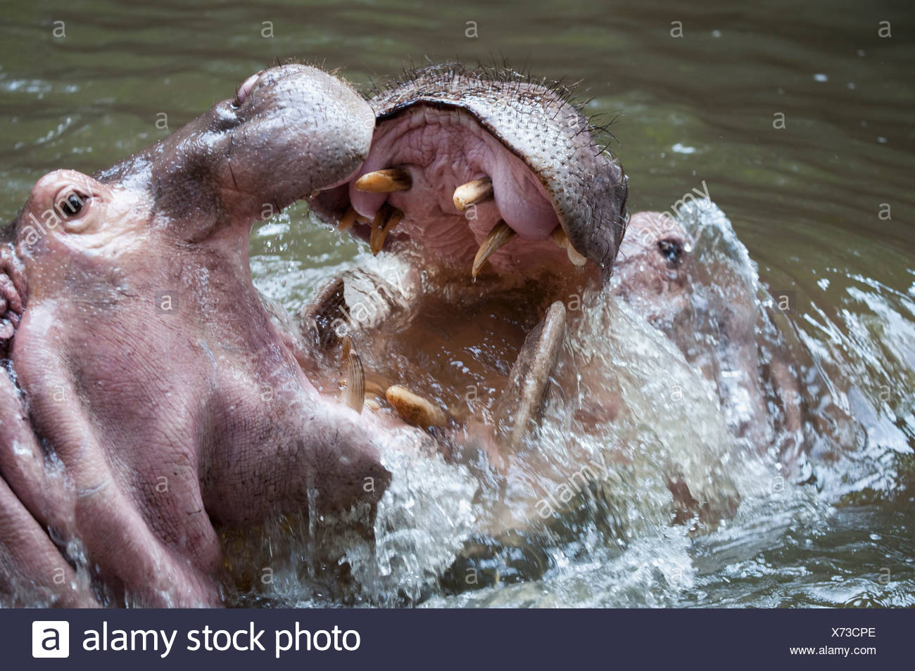 Two Hippos; Two Hippos Fighting In Water - Stock Image