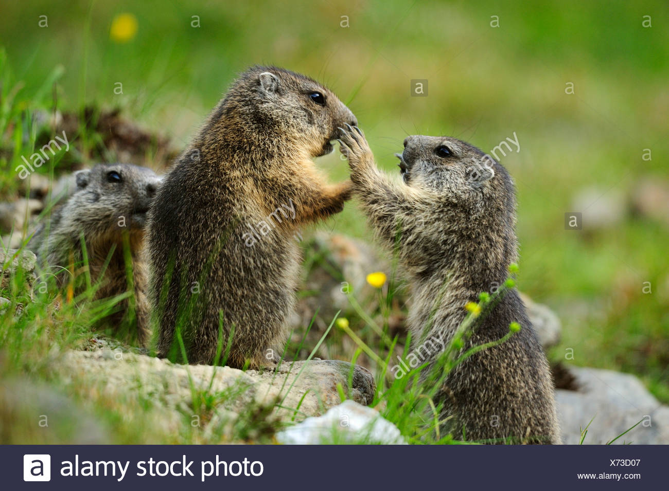 Three Alpine marmots (Marmota marmota), Stubai, Stubai Alps, Tyrol, Austria - Stock Image