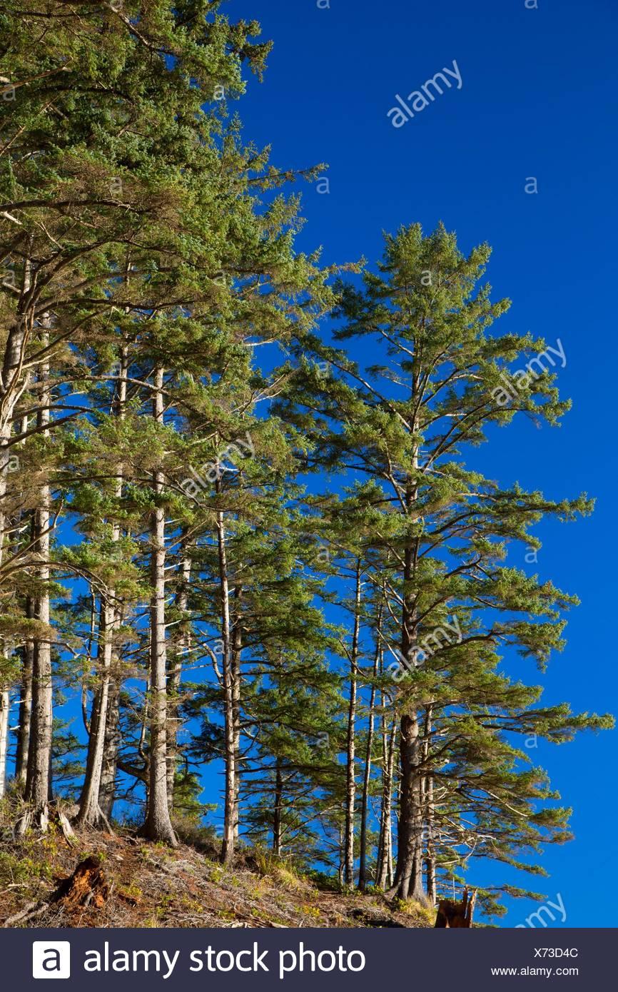 Sitka spruce at Short Sand Beach, Oswald West State Park, Oregon. - Stock Image