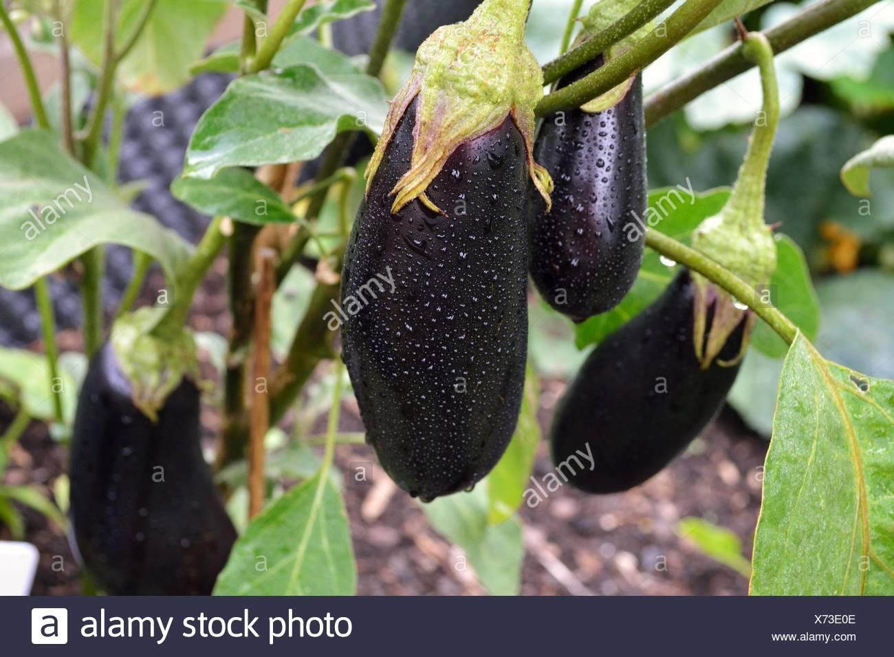 Eggplant in the garden Stock Photo