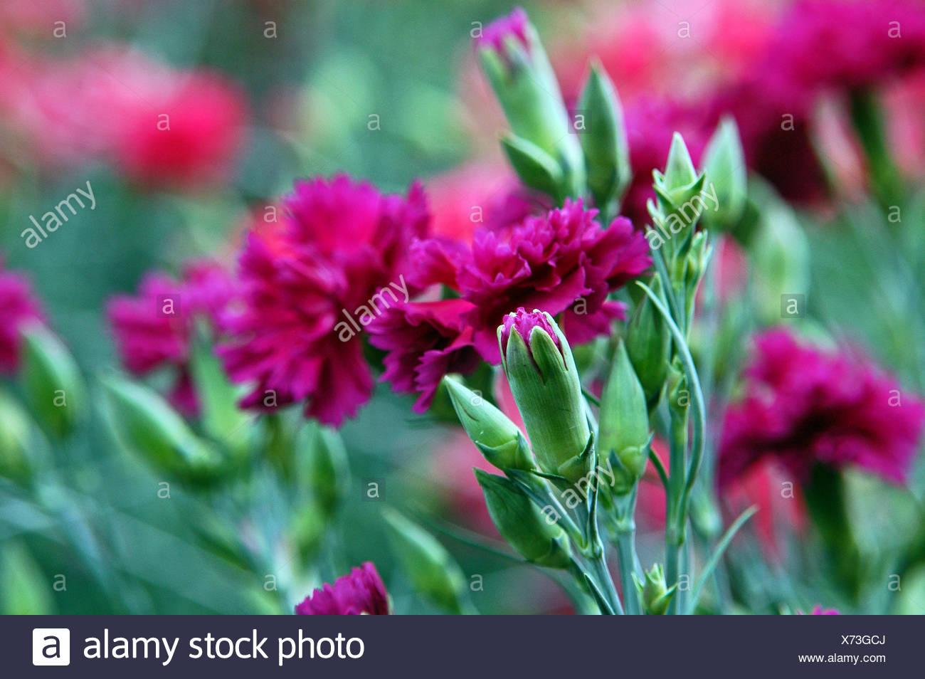 carnations - Stock Image