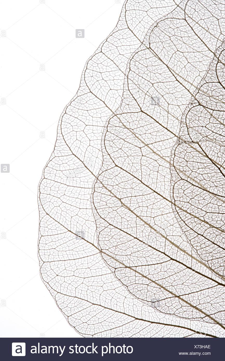 Transparent leaves - Stock Image