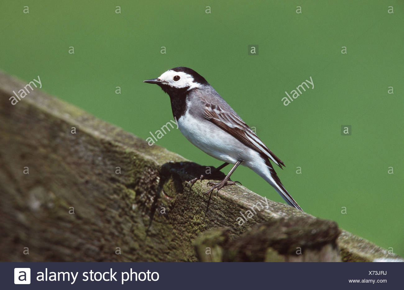 pied wagtail (Motacilla alba), sitting, Netherlands - Stock Image