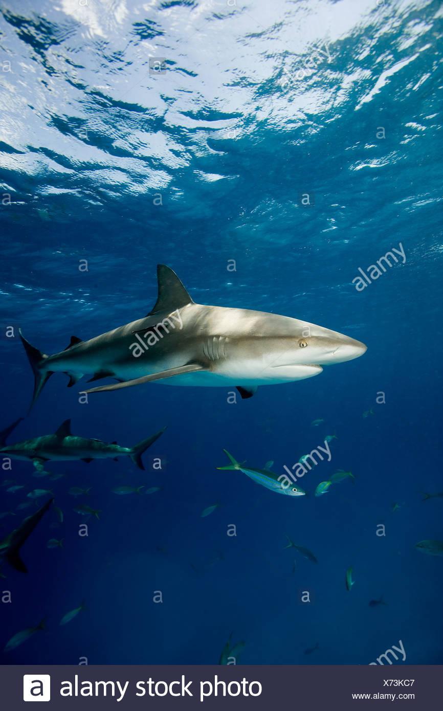 Frenzied activity involving Caribbean reef sharks (Carcharhinus perezi), New Providence, Bahamas - Stock Image