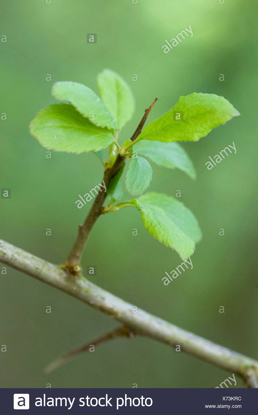 blackthorn, sloe (Prunus spinosa), short shoot with spine, Germany - Stock Image