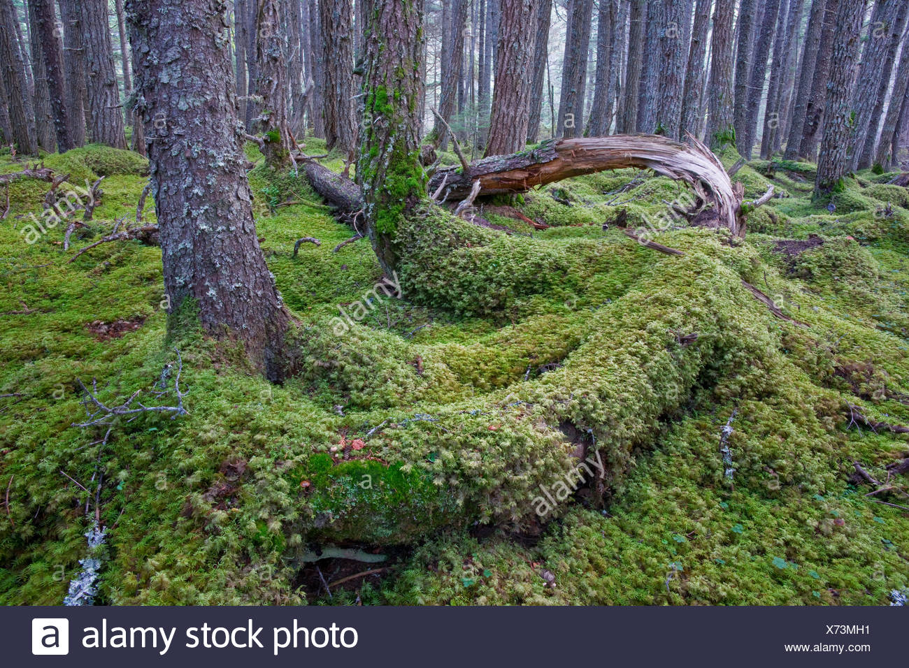 Lush understory of a rain forest, Bird Creek Valley, Chugach State Park, Southcentral Alaska, Summer - Stock Image