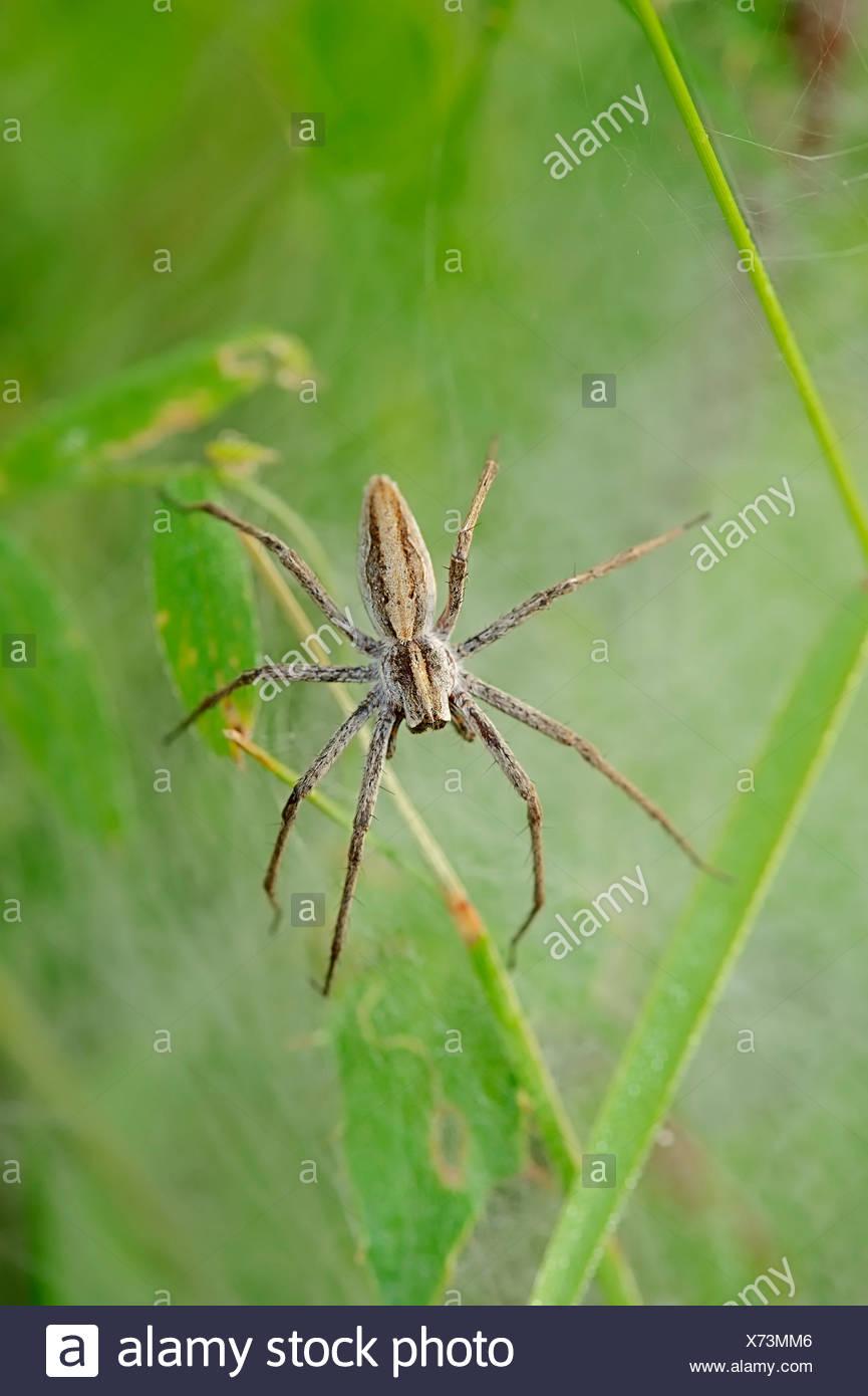 Nursery Web Spider (Pisaura mirabilis), female guarding juveniles under a cocoon, North Rhine-Westphalia, Germany - Stock Image