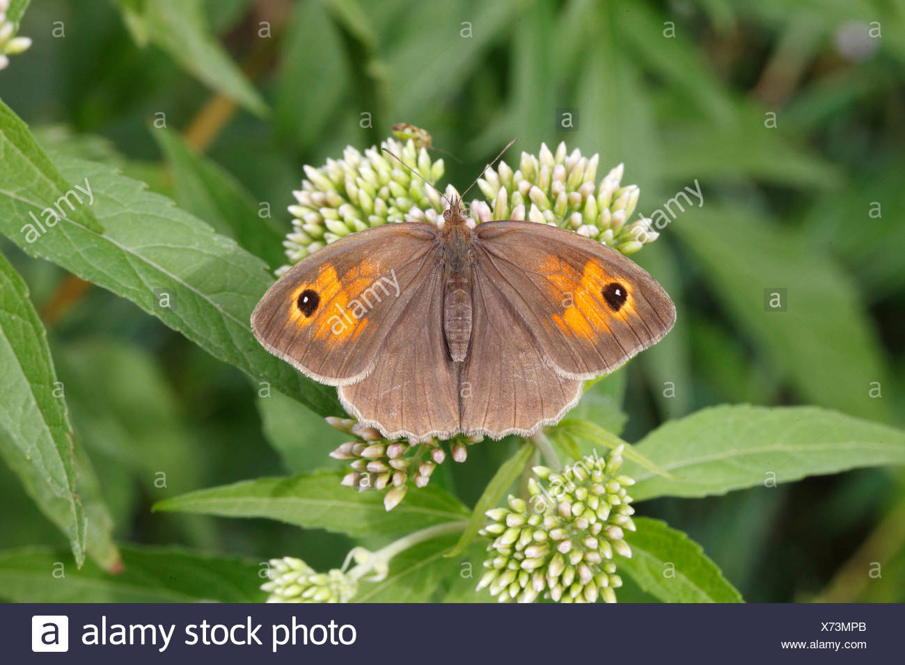 Meadow Brown (Maniola jurtina), female perched on an agrimony flower - Stock Image
