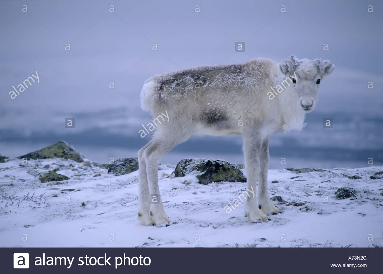 Scandinavia, Sweden, Dalarna, Animal in snow Stock Photo