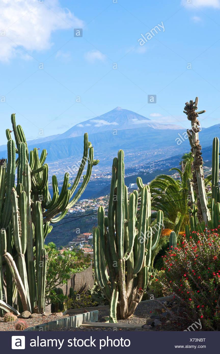 Cactus garden in El Sauzal with views of Mount Teide volcano, Tenerife, Canary Islands, Spain, Europe Stock Photo
