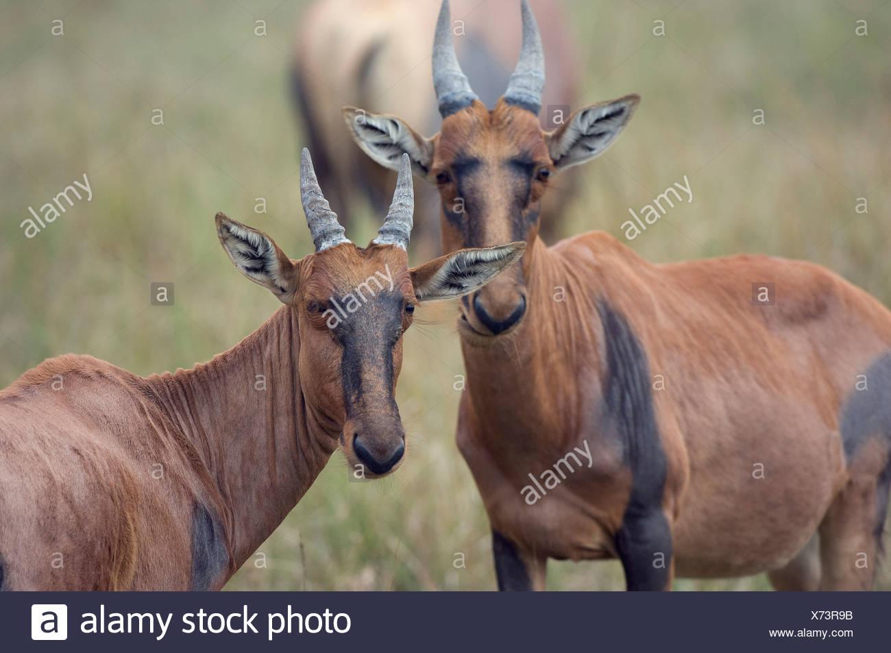 Portrait of two young topi Masai Mara national park Kenya - Stock Image