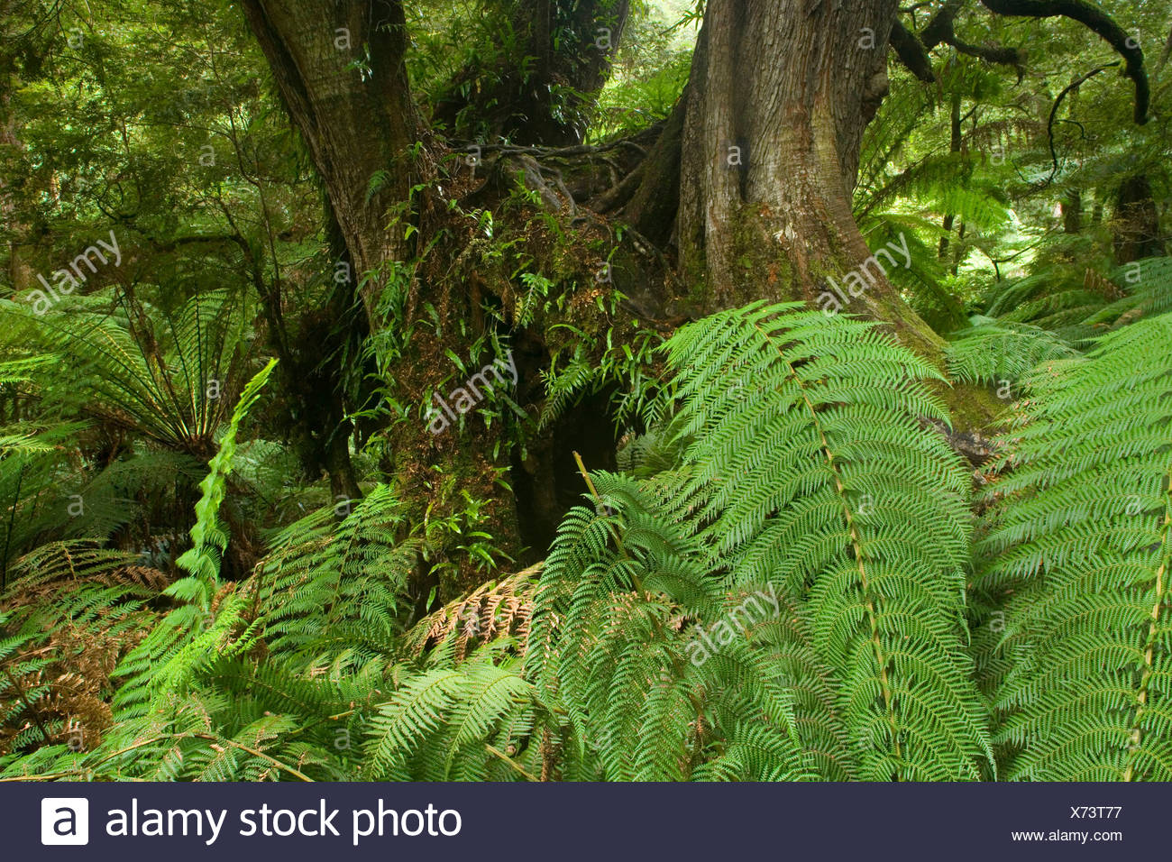 Myrtle Beech (Nothofagus cunninghamii), Temperate rainforest - lush temperate rainforest with Myrtle Beeches, and lots of treefern, ground-growing fern and fungi , Australia, Victoria, Great Ocean Road, Great Otways National Park - Stock Image