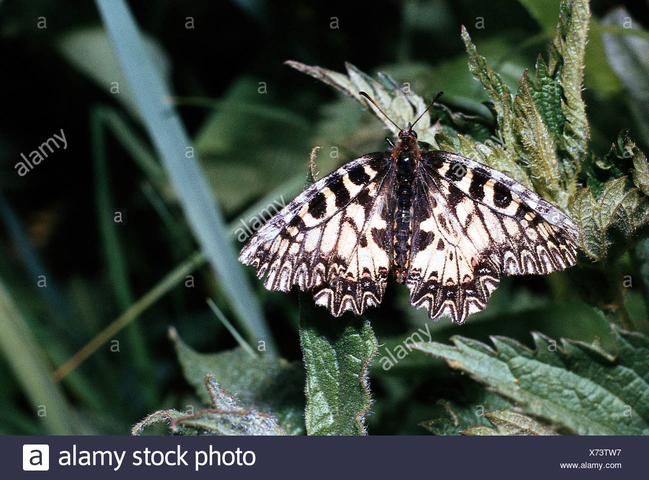 zoology, animals, insect butterflies Southern Festoon Zerynthia polyxena at plant, distribution: Eastern Mediterranean, Lepidopt - Stock Image