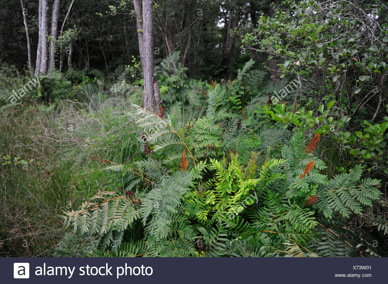 Royal ferns in the undergrowth - Aquitaine France Stock Photo