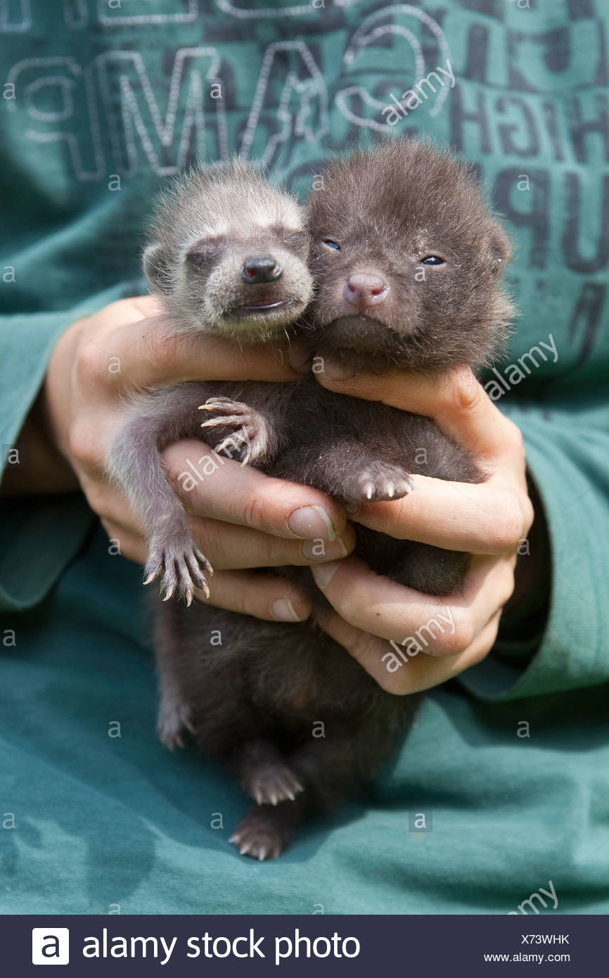 common raccoon (Procyon lotor), orphelin whelp being raised in human charge together with a raccoon dog whelp (Nyctereutes procyonoides), Germany - Stock Image