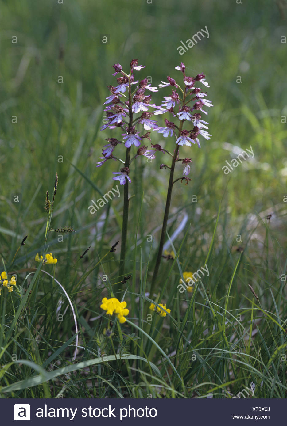 Meadow, magenta orchis, Orchis purpurea, detail, blossoms, plant, flower, orchid, orchis, blossom, period bloom, nature, botany, wild plant, - Stock Image