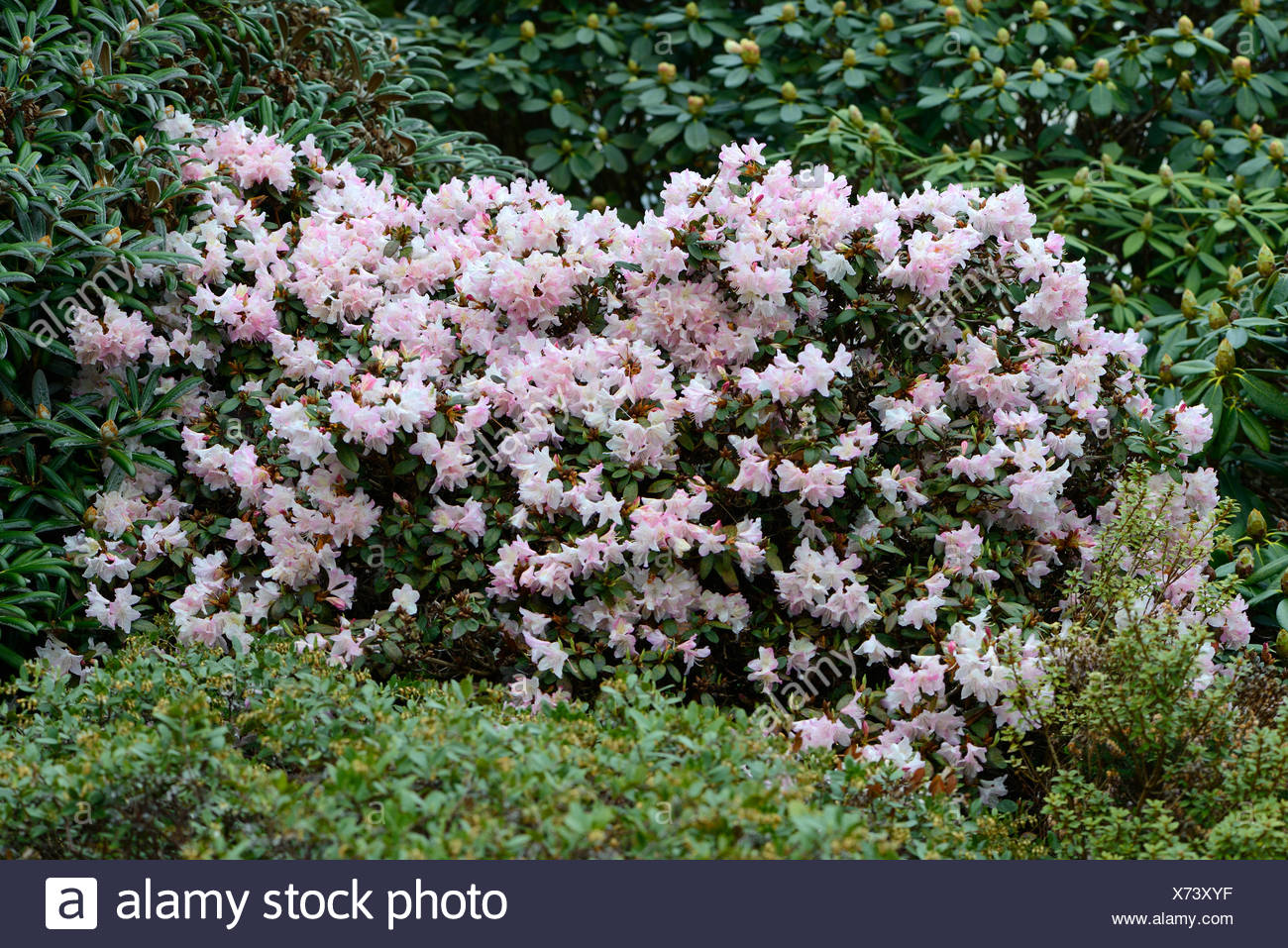 Blooming Rhododendron Ginny Gee (Rhododendron keiskei hybrid), Haren, Emsland, Lower Saxony, Germany - Stock Image