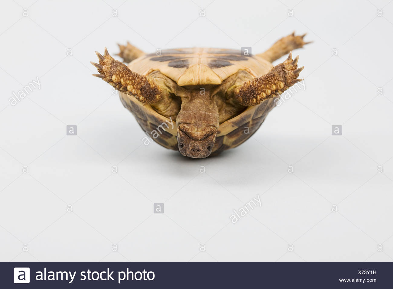Tortoise upside down, studio shot - Stock Image