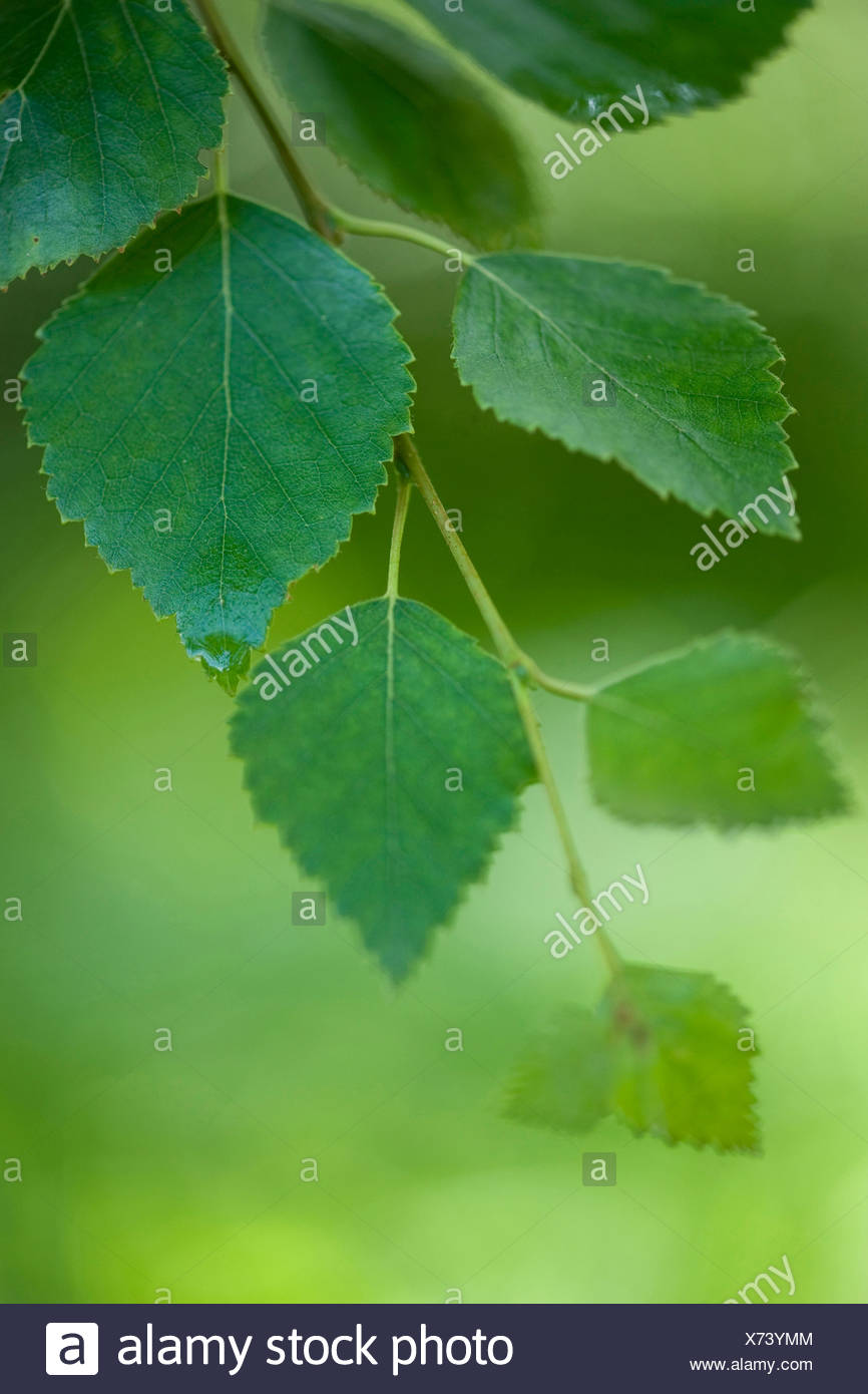 downy birch (Betula pubescens), twig with birch leaves, Germany - Stock Image
