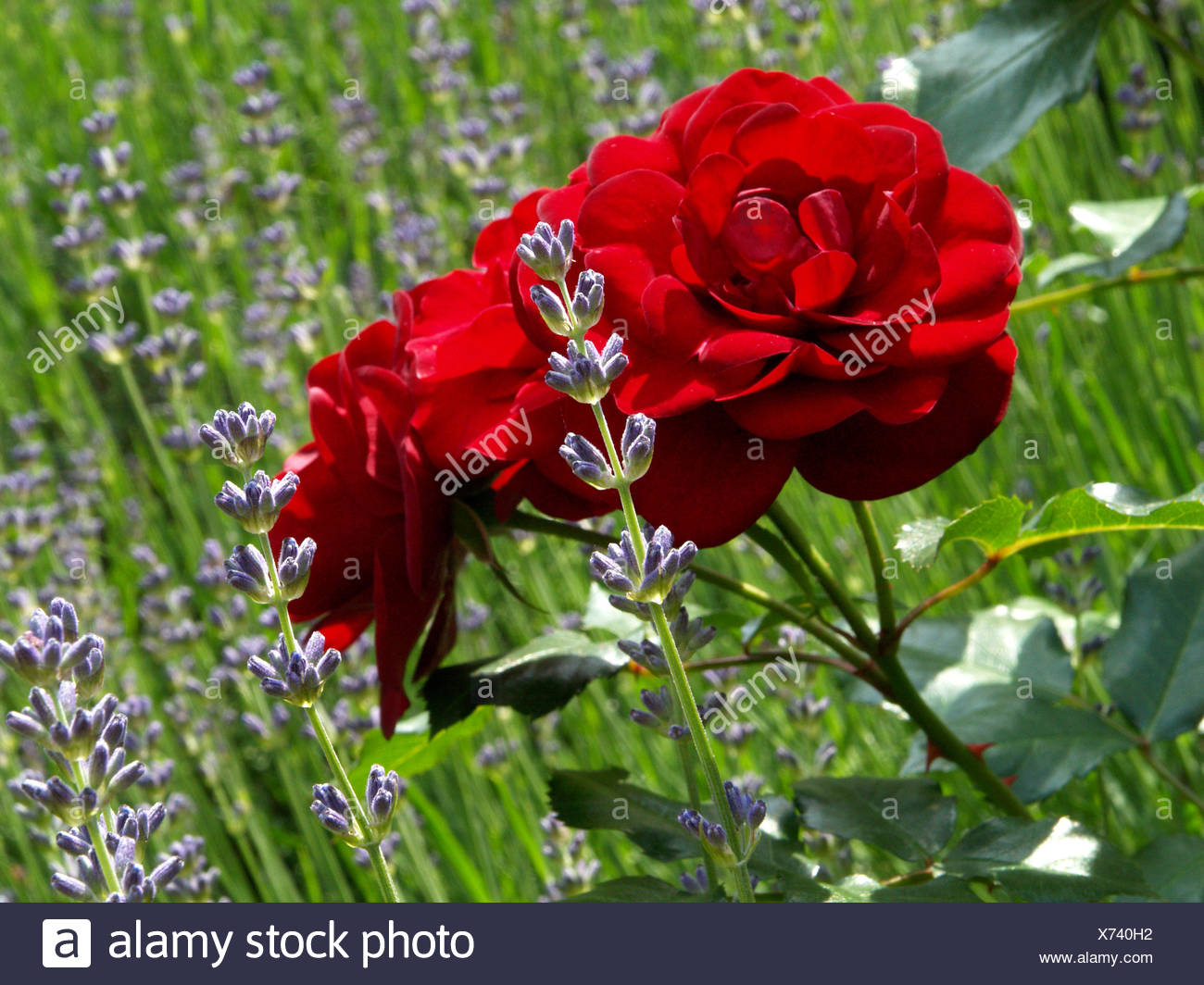 blue relaxation park holiday vacation holidays vacations flower plant rose Stock Photo