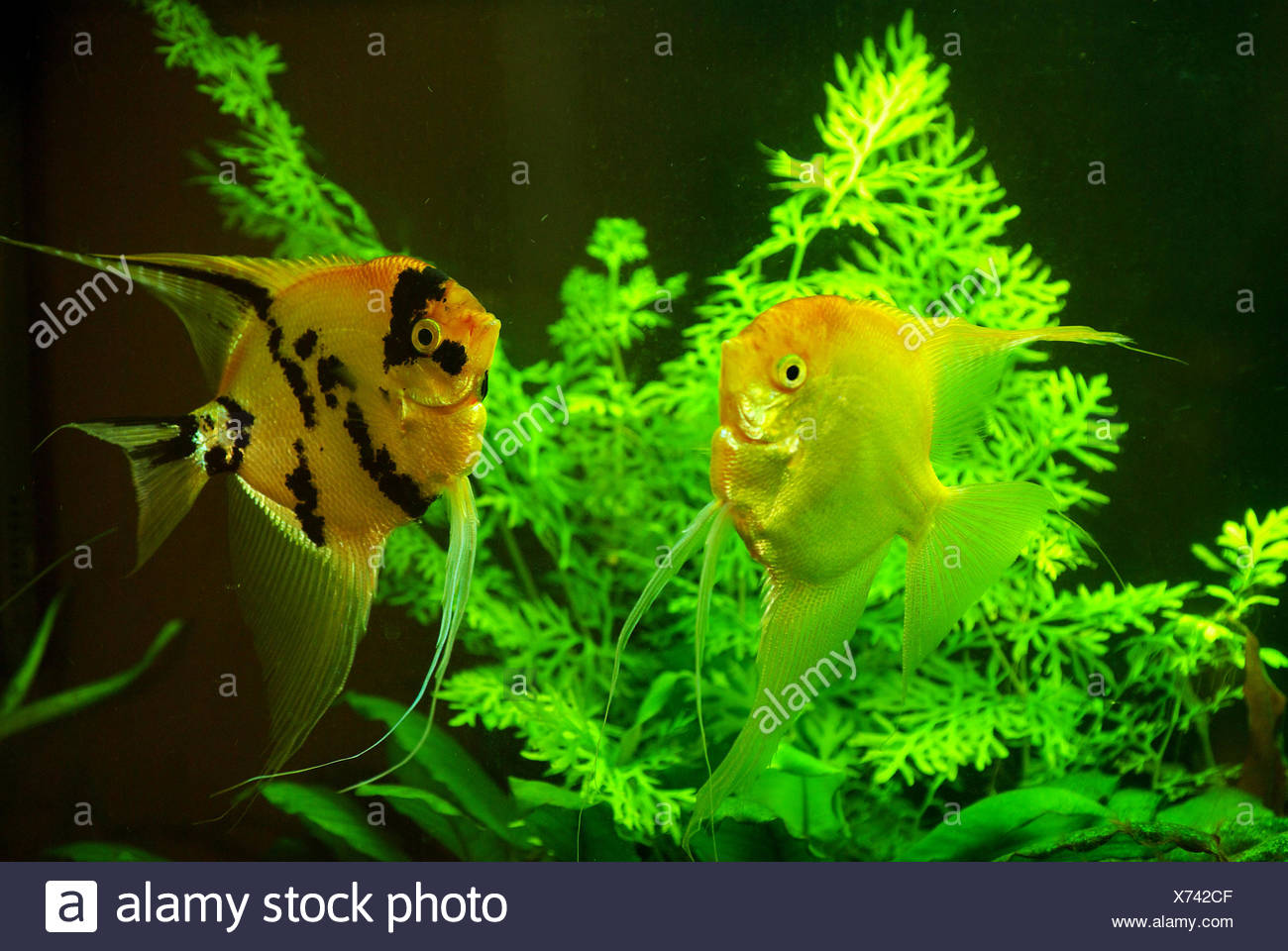 fish in a aquarium water - Stock Image