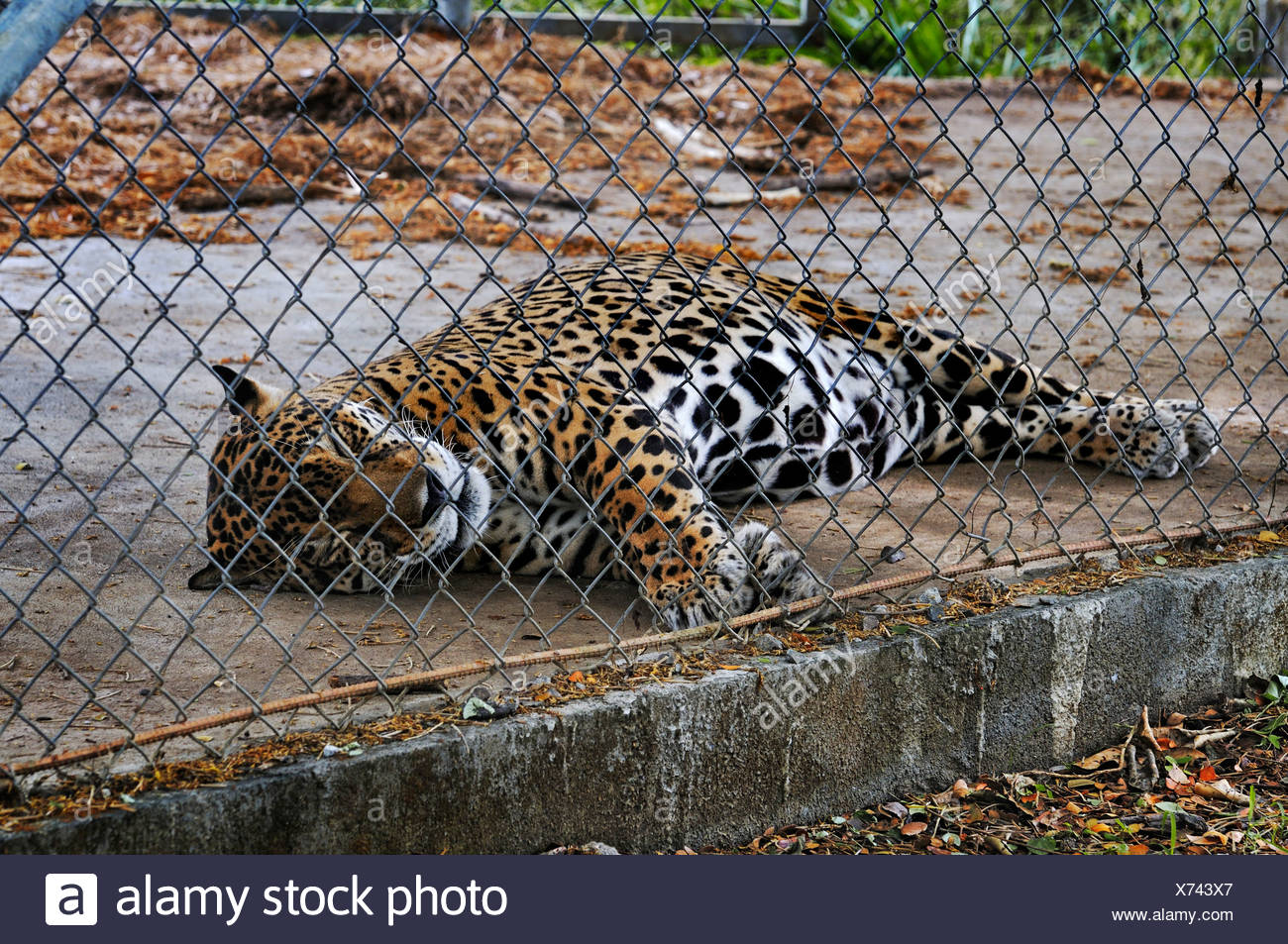 Jaguar (Panthera onca) behind wire netting, Las Pumas, animal rescue center, province of Guanacaste, Costa Rica, Central America - Stock Image