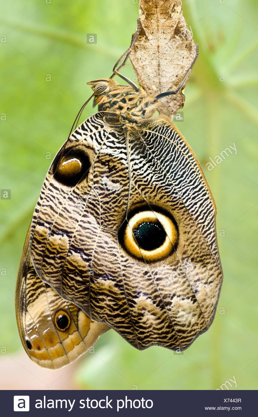 Owl-eye Butterfly (Caligo sp), Amazonia, Ecuador, South America. - Stock Image