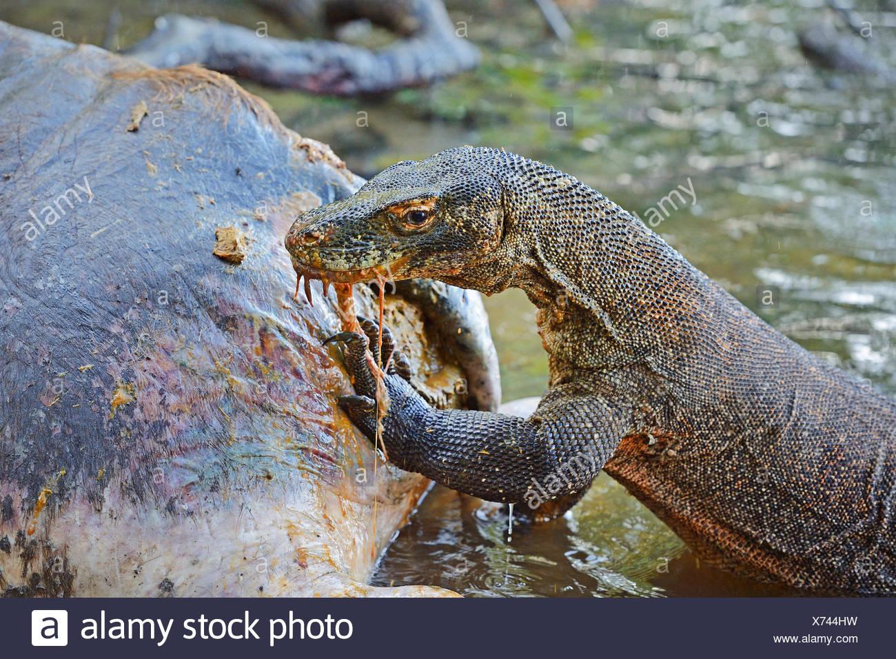 Komodo-Waran, Komodo Waran, Komodowaran (Varanus komodoensis), frisst am Kadaver eines im Flachwasser verendeten wilden Bueffels - Stock Image