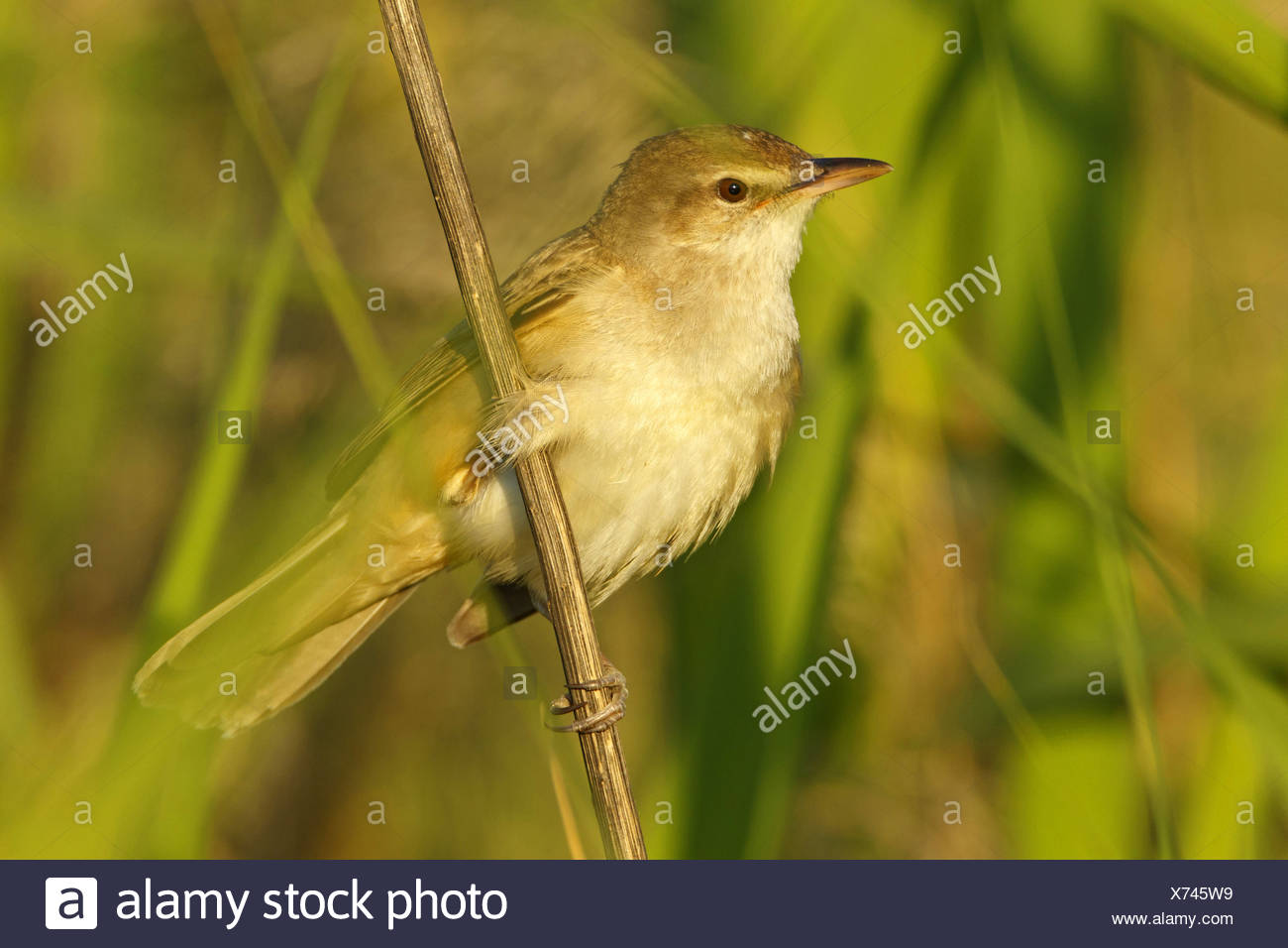 great reed warbler (Acrocephalus arundinaceus), sitting at a sprout, Turkey, Sanliurfa, Birecik Gravel Pits Stock Photo