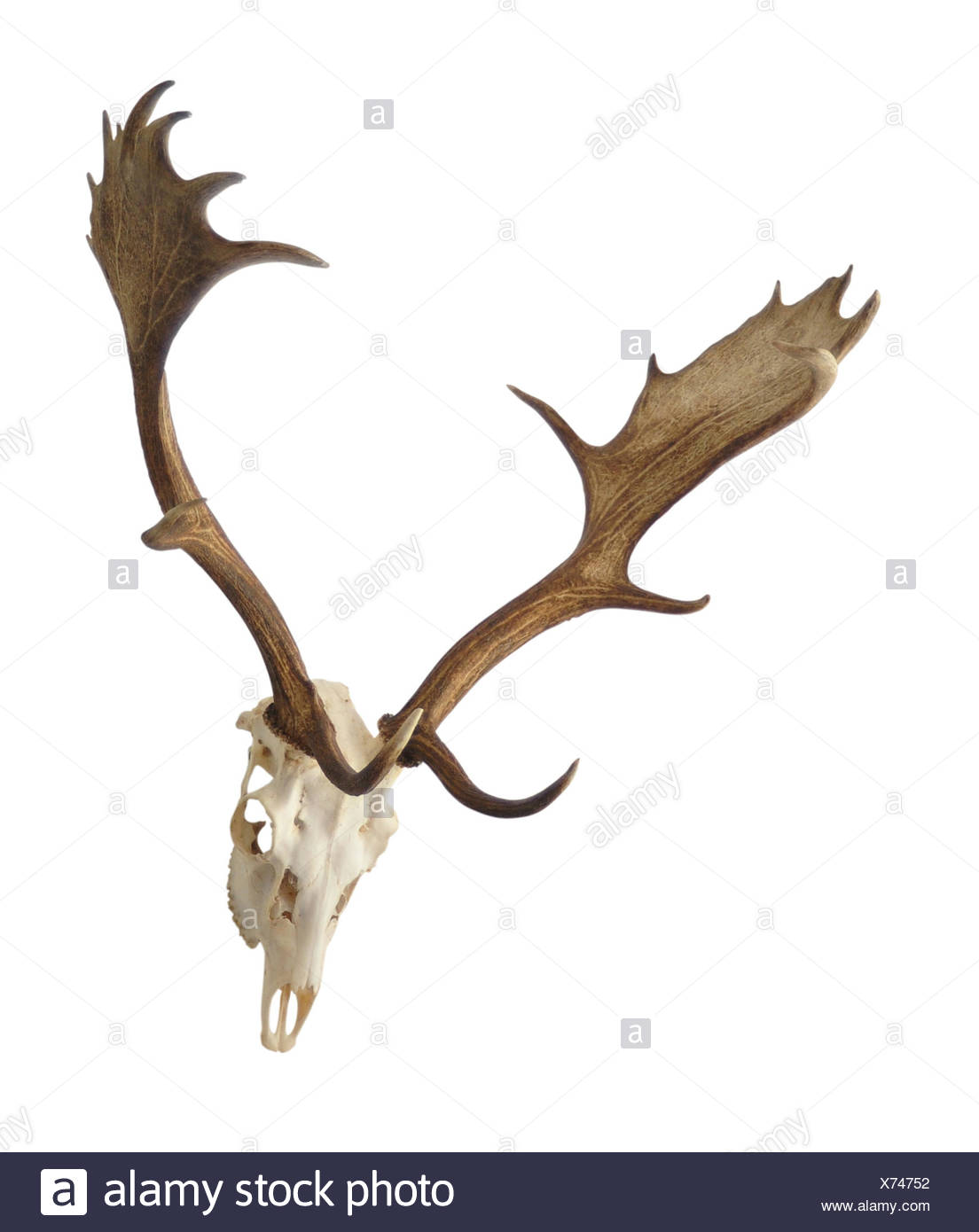 Deer Skull Cut Out Stock Images & Pictures - Alamy