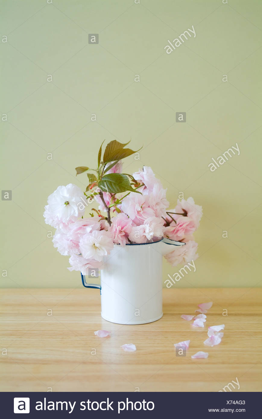Cherry blossoms in jug - Stock Image