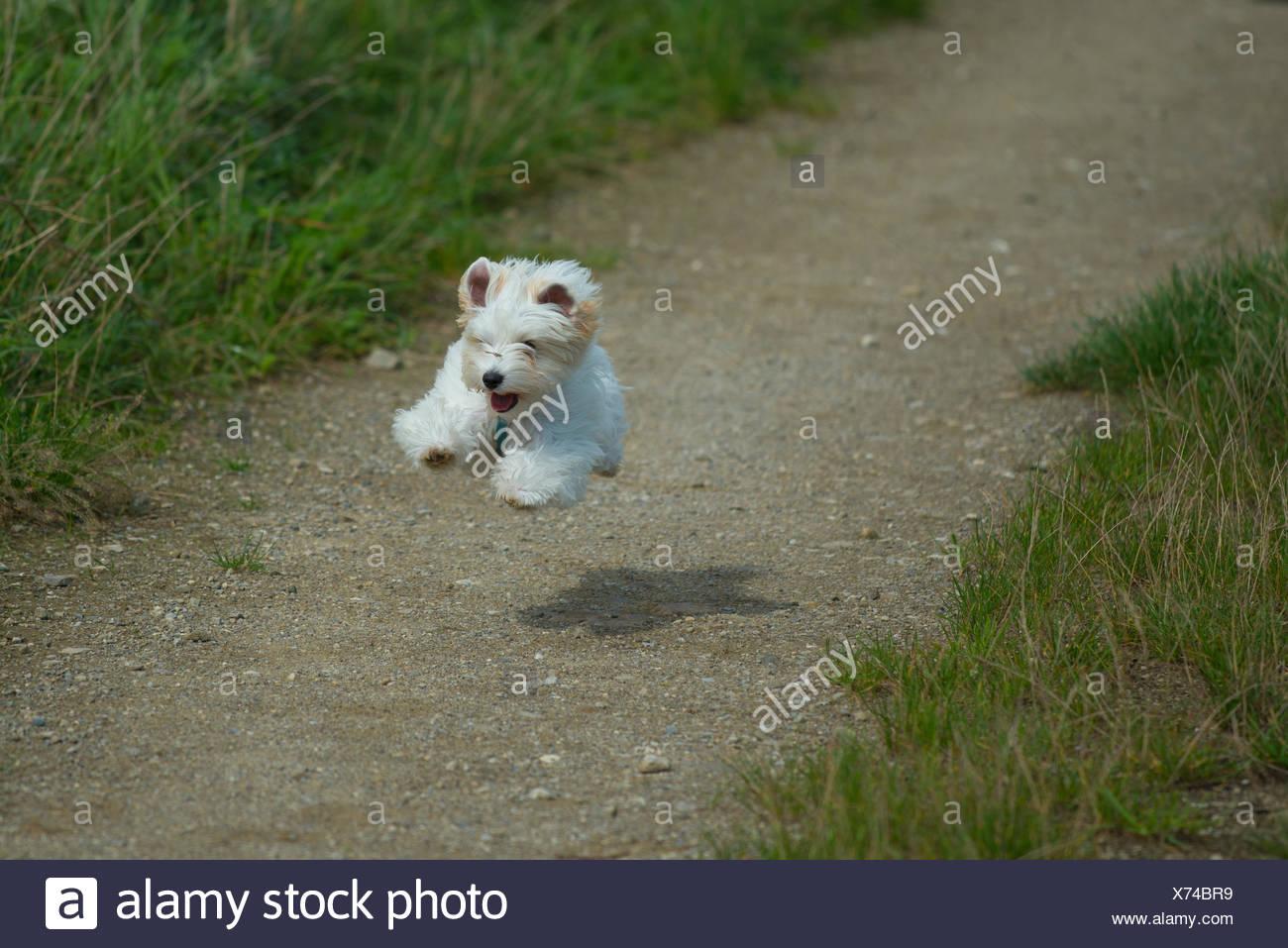 bouncing little white dog - Stock Image