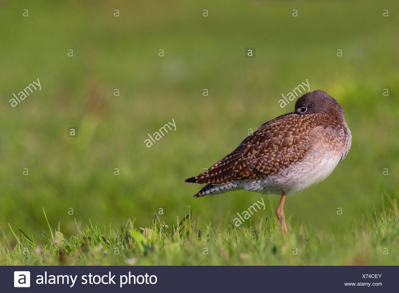common redshank (Tringa totanus), in eclipse plumage in a meadow, rest and sleep, Germany, Schleswig-Holstein - Stock Image
