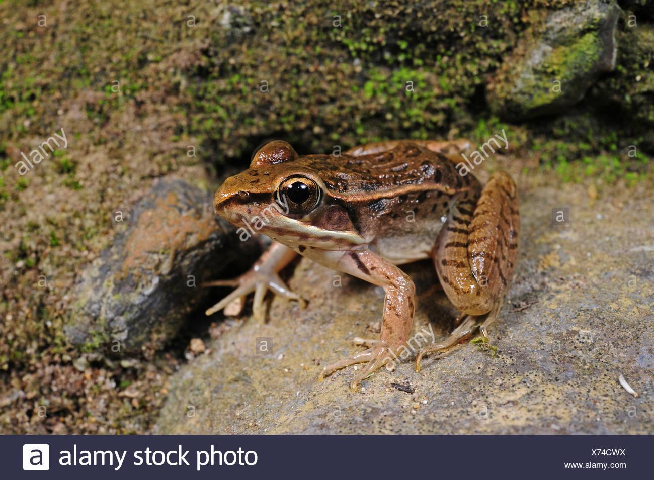 frog (Lithobates cf. berlandieri), Honduras, Copan - Stock Image