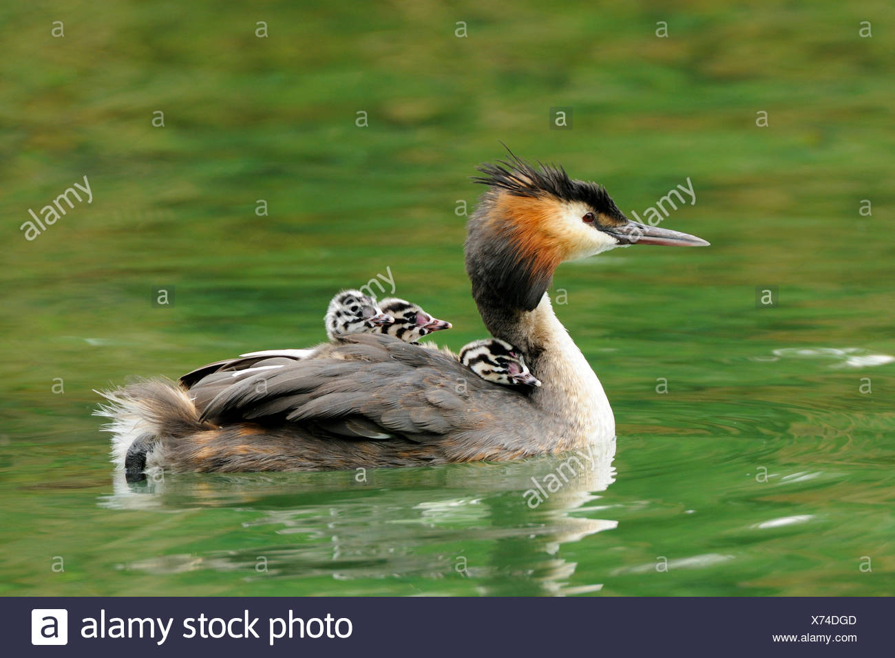 Great crested grebe (Podiceps cristatus) with young birds in the feathers on the back, Lake Lucerne, Canton of Lucerne - Stock Image