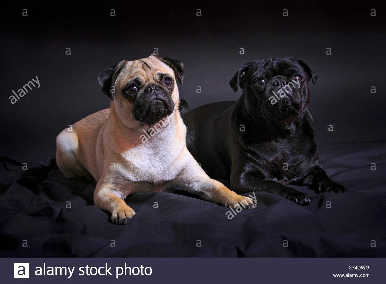 Pug (Canis lupus f. familiaris), black pug and fawn pug lying together on a black blanket - Stock Image