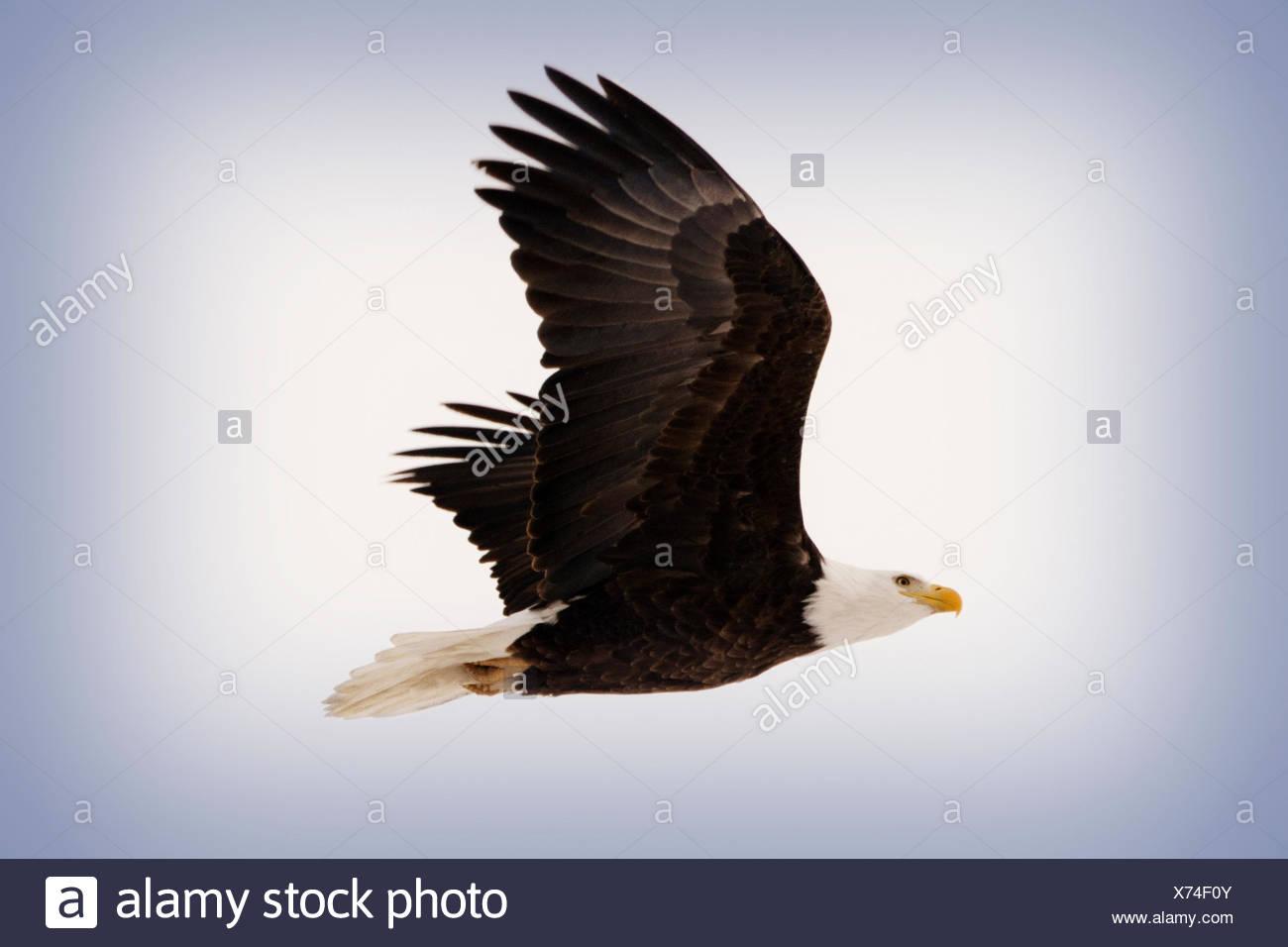 Bald Eagle in Flight, Colorado - Stock Image
